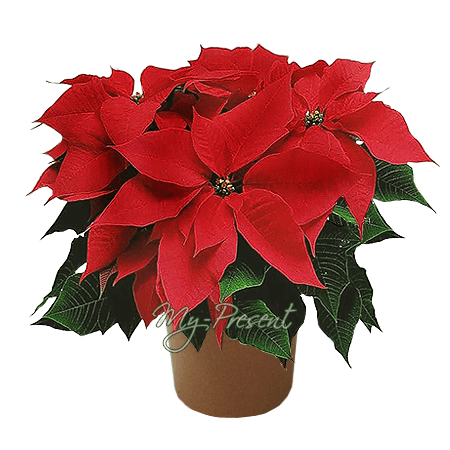 Poinsettia in Saratow